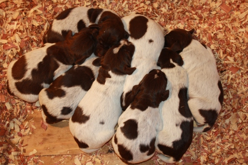 """""""E"""" Litter at one week old"""