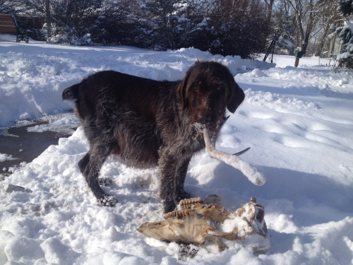 Sue on Saturday with a deer antler and a cow skull from our flower bed bone pile