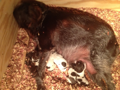Sue with 6 puppies at 1:30 AM Tuesday (there is one under her front leg).