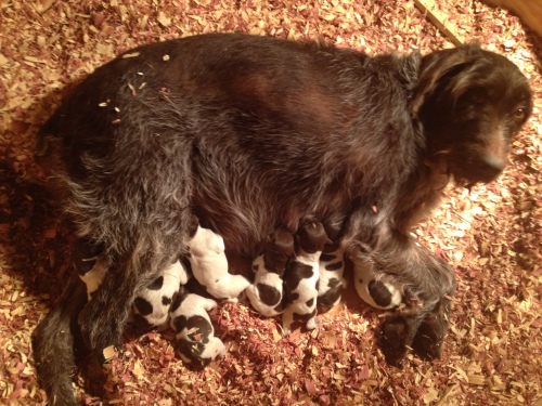 Sue and the 8 puppies at 4:30 AM on Wednesday
