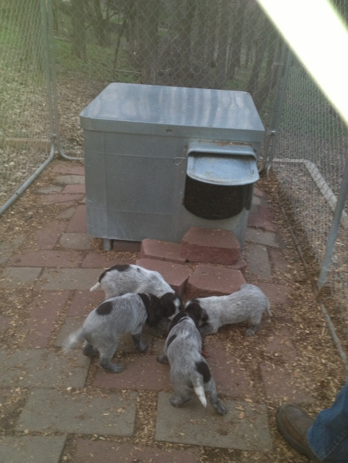 Mae's pups check out the chukar.  Clockwise from top left: Frieda, Francis, Flora and Fern