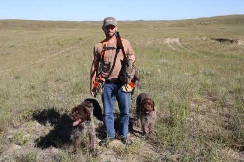 Wirehaired Pointing Griffons Hunt Sharptailed Grouse