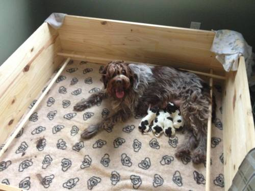Cristal and the 4 puppies: 1 male and 3 females