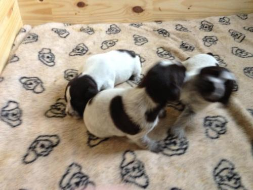 Cristal and Fortis puppies at 3 weeks old.