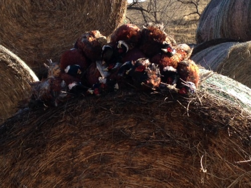 Ed's stack of ND pheasants