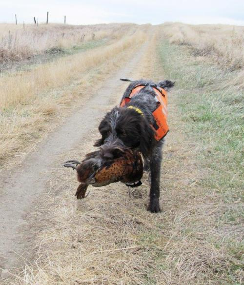 Here comes TracHer with a pheasant!