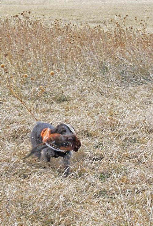 TracHer retrieving another pheasant