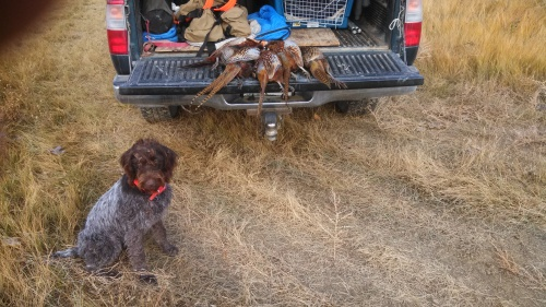 Midge and Montana Pheasants