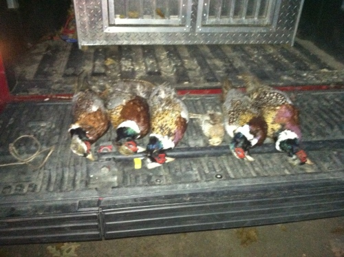 End of day bag.  One of Matt's roosters somehow got away.