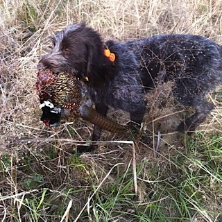18 month old TracHer on retrieve of a North Dakota rooster
