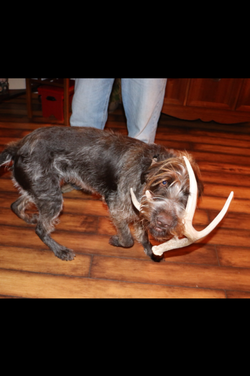 Zoey retrieving an antler