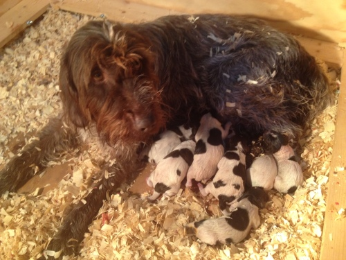 BB with 8 puppies in the whelping box