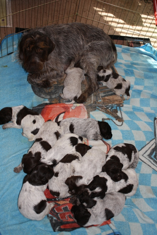 BB and her 13 pups