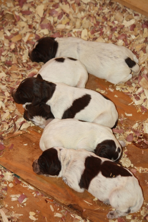 """Four day old """"H"""" Litter puppies"""