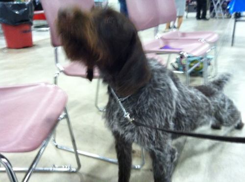 Midge has a stretch after her BOB win at Montana Expo Park