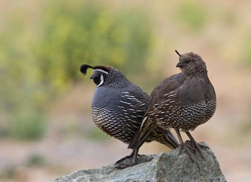 Male and female California Quail
