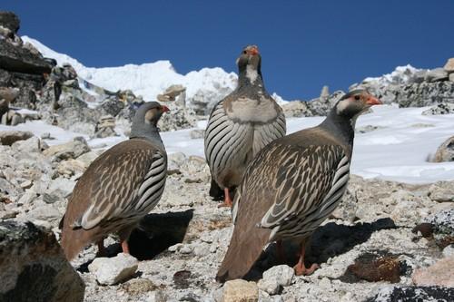 Himalayan Snowcock in Nepal (photo from summitpost.org)