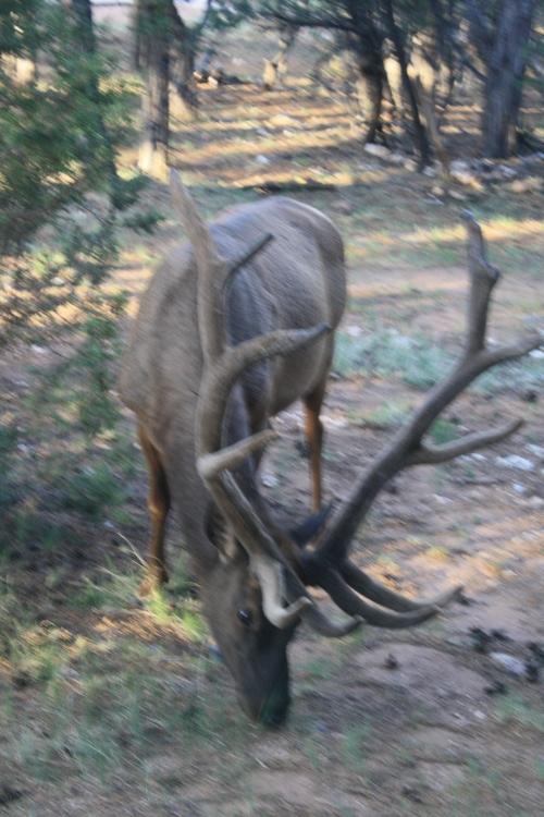 Bull Elk outside of our window