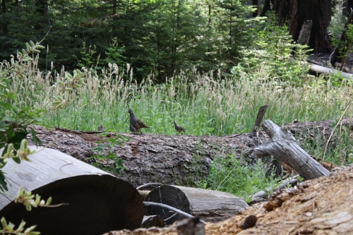 Male Mountain Quail with one of his 6-8 chicks