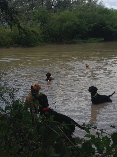 Four labs and a griff cooling off.