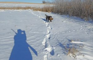 TracHer retrieving a rooster in the snow.