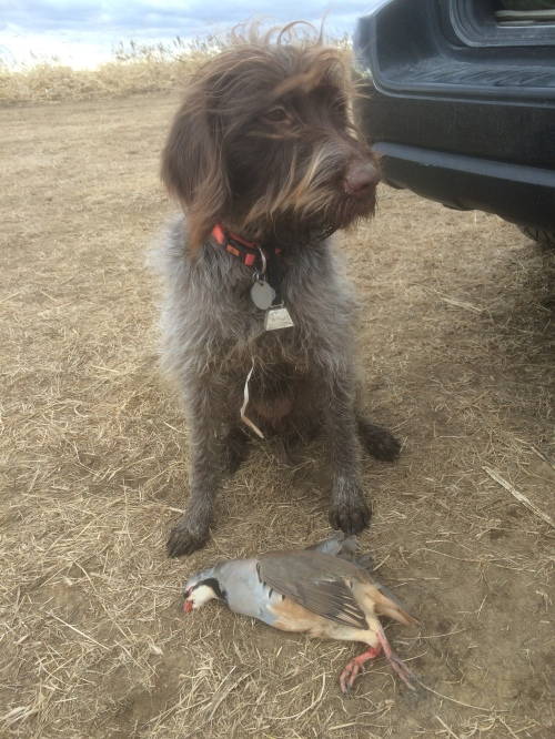 Bella with her chukar from Pheasant Bonanza