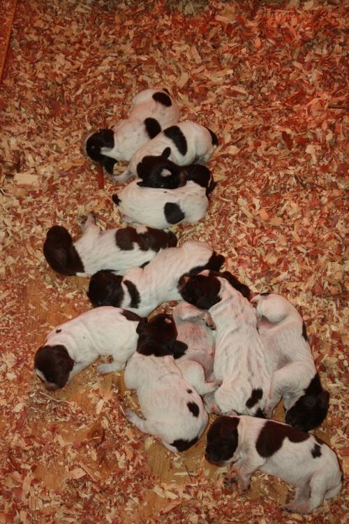BB and Sam's pups at 1 week old