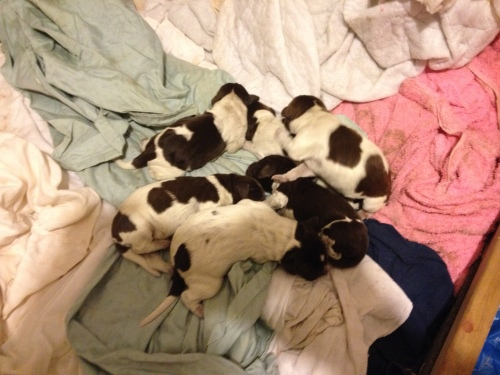 Velma and Ben's litter when they were first born