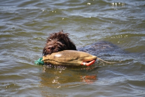 Chief retrieving the mallard Dokken at 5.5 mos