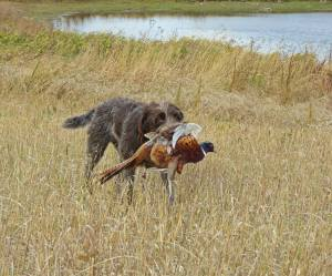 TracHer retrieving a pheasant