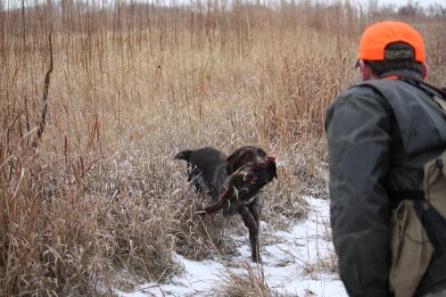 Sue pheasant retrieve 2010