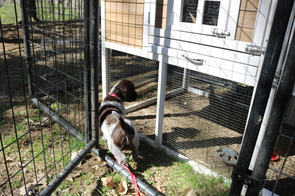 Bluestem Kennels | Home of hunting Wirehaired Pointing Griffons