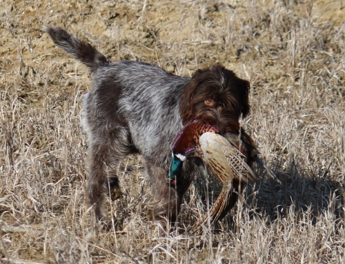 Charity Upchurch Wirehaired Pointing Griffon