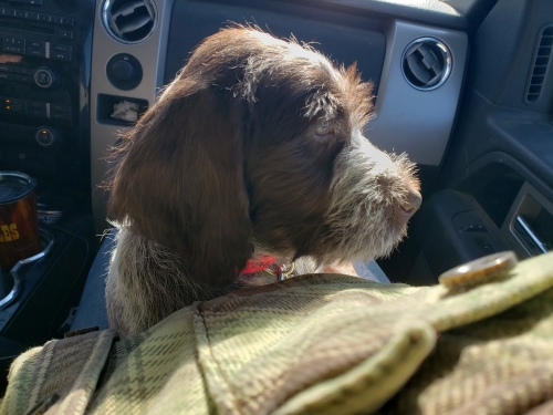 Bluestem Kennels Obi in car
