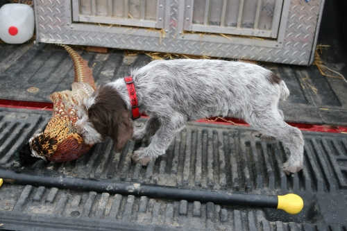 Wirehaired Pointing Griffon First Pheasant Eight Weeks