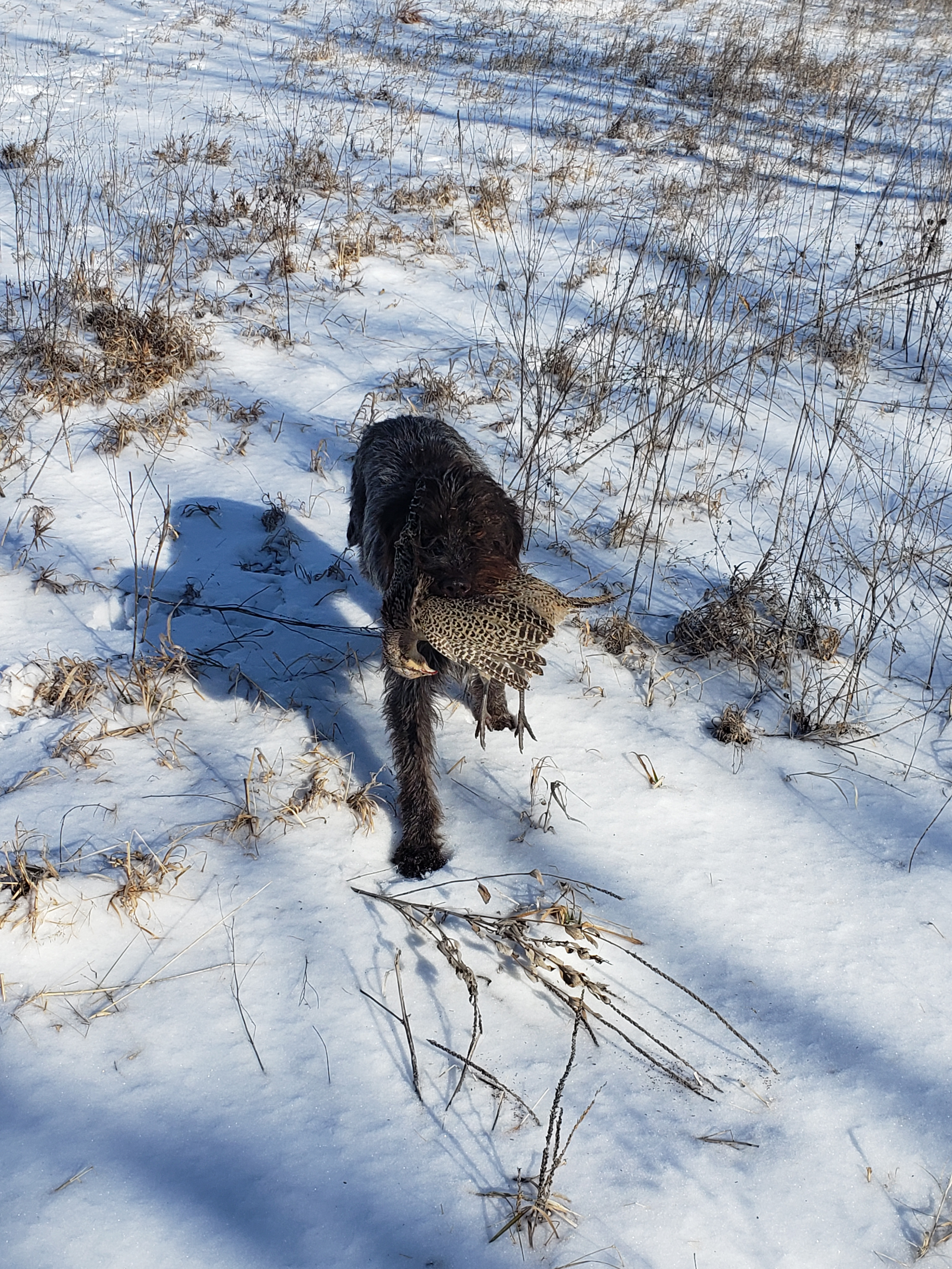 Ruth Retrieve Wirehaired Pointing Griffon