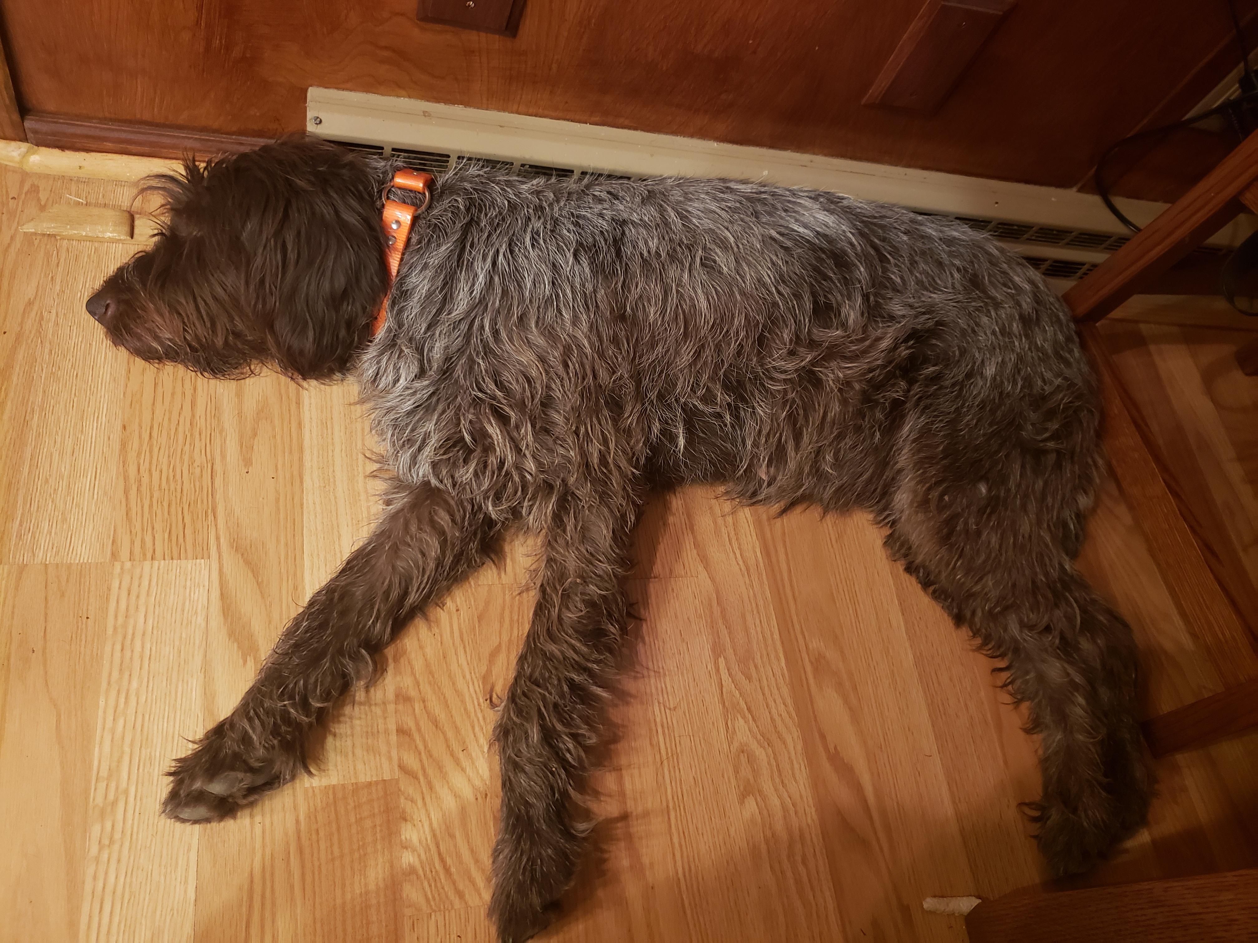 Wirehaired Pointing Griffon Four Weeks Pregnant