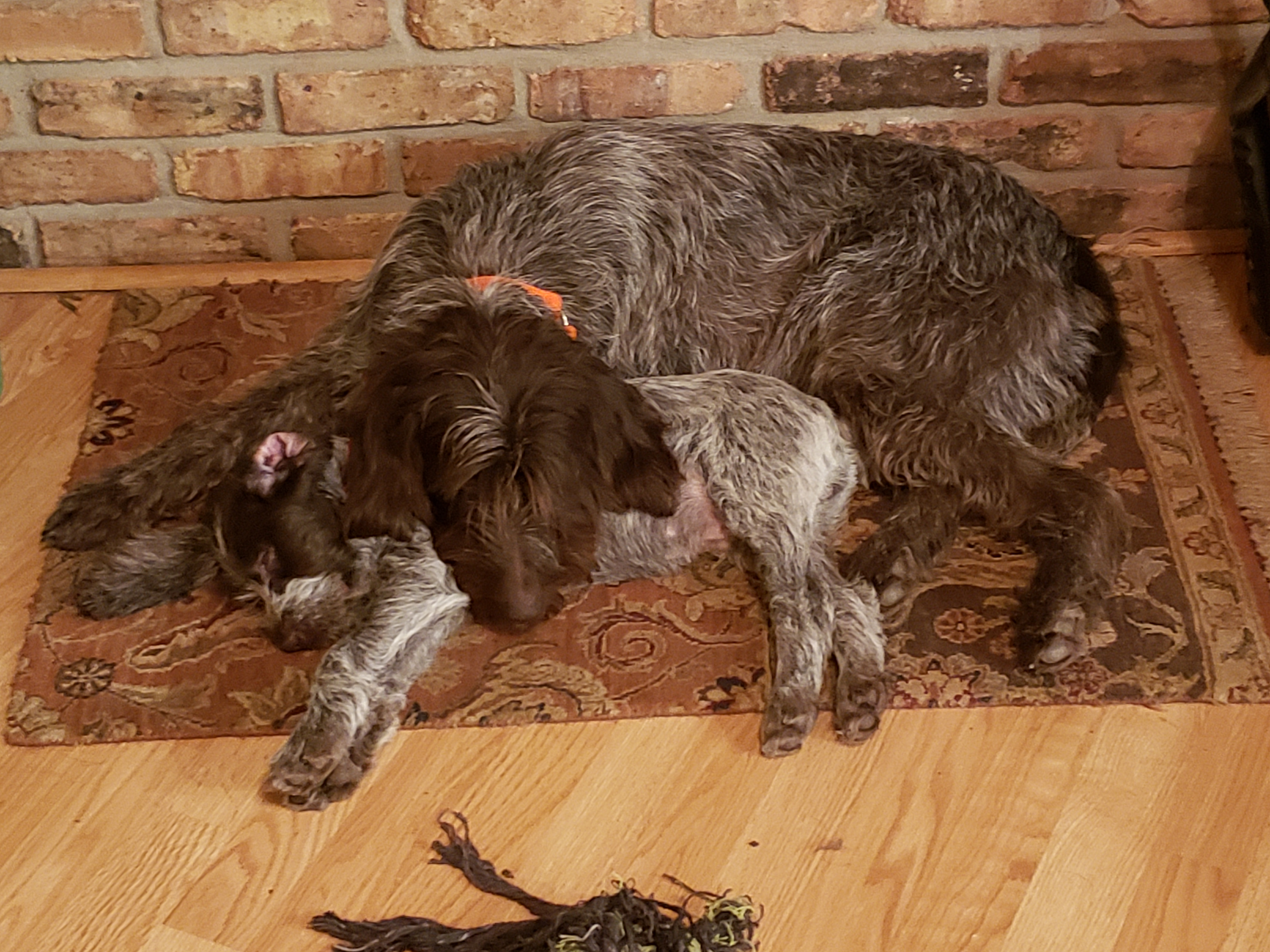Wirehaired Pointing Griffon Puppy (2)