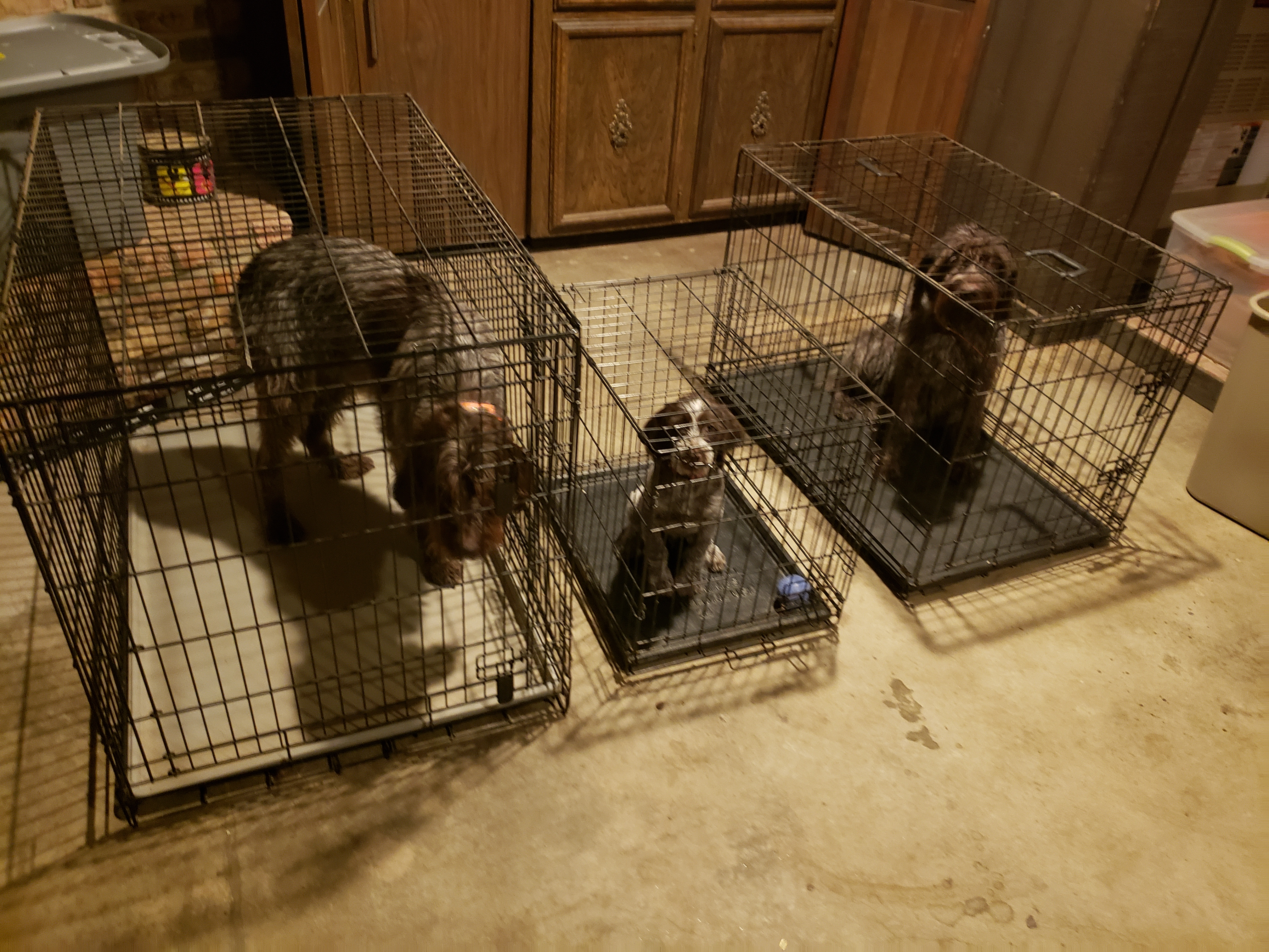 Wirehaired Pointing Griffon Puppy Crate