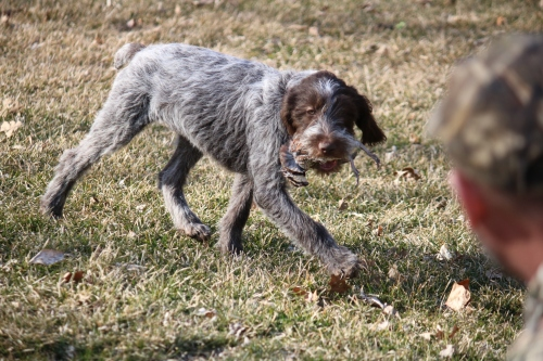 Wirehaired Pointing Griffon Puppy Retrieve