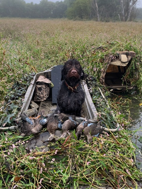 Bluestem Gus Wirehaired Pointing Griffon