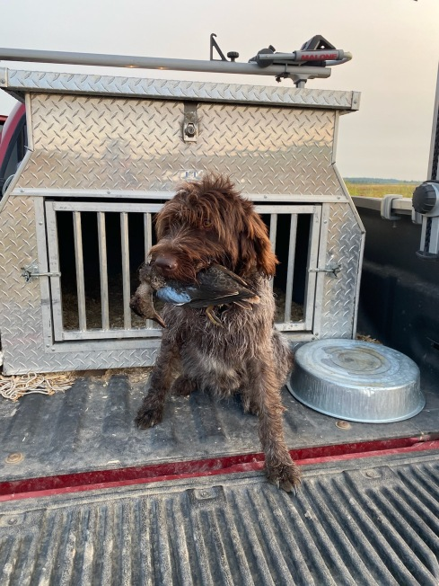 Hunting Wirehaired Pointing Griffon Teal